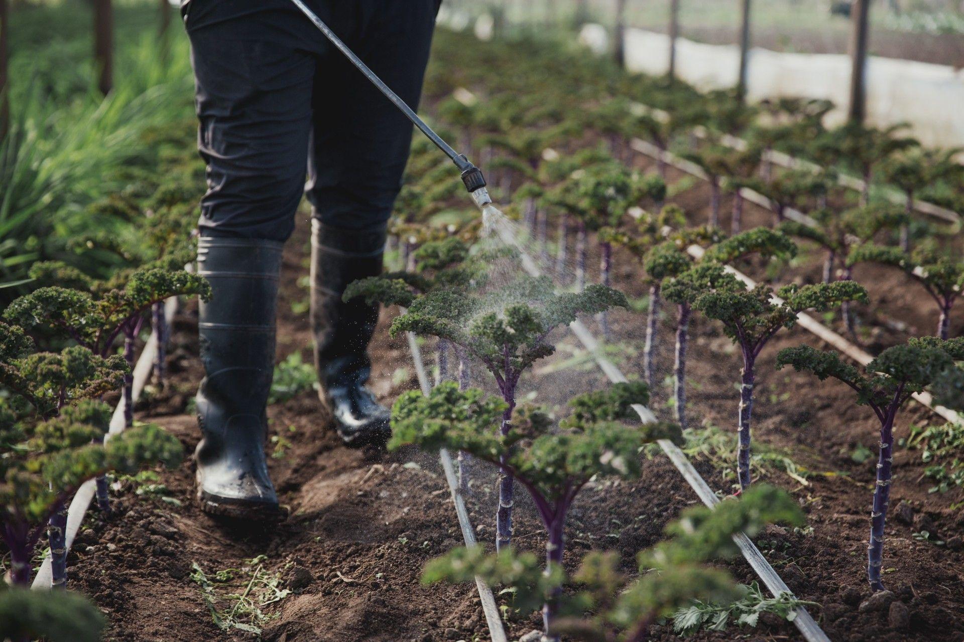 Riego de plantación de Kale.